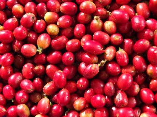 bengkulu surga kopi 2